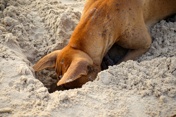 Dog digs a hole in sand