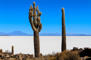 Millenary cactus in the Salar de Uyuni.