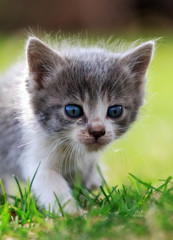 Large portrait of a white and gray kitten on background green grass