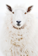 Pojedyncze zbliżenie twarzy portret przednie jednej owcy owczej patrząc na kamery na białym tle bez kolczyków. Niezwykłe wyciąć widok najpopularniejszego zwierzęcia gospodarskiego w irlandzkiej wsi - 135353529