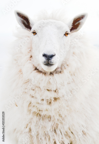 Isolated Front portrait face closeup of one single ewe sheep