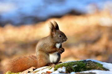 Red squirrel or Eurasian red squirrel (Sciurus vulgaris) eating nuts on stone and moss