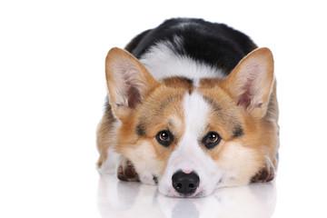 Welsh corgi dog on a white background
