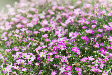 Wall Mural - Field of pink dianthus flowers