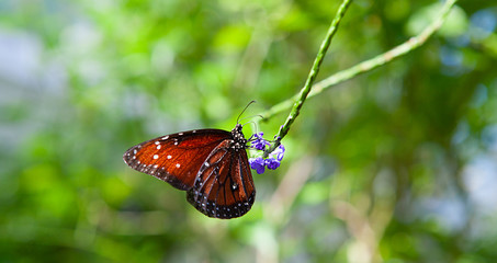 Red butterfly sitting on green leaves, beautiful insect in the nature habitat