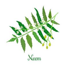 Neem or nimtree. medicinal plant, twig, flowers and berries