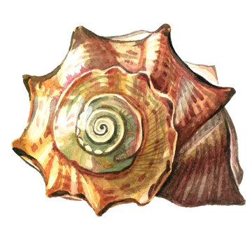 Sea shell painted watercolor. Illustrations of sea shells on a w