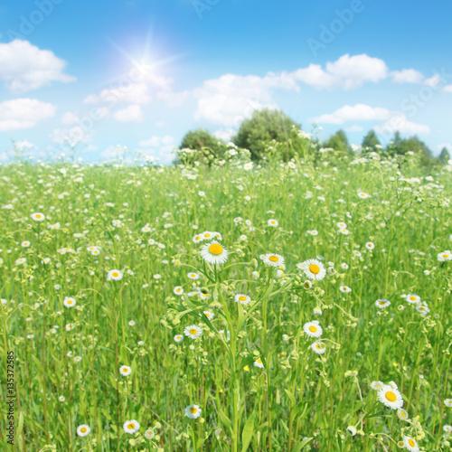 daisy field mountain sky - photo #10