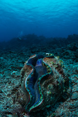 Giant clam (Tridacna gigas) with a diver in the background on Australia's Great Barrier Reef