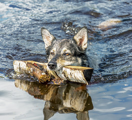Dog swims with a stick thrown her master - Russia