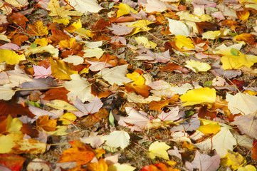 Detail, autumn leaves on the forest floor