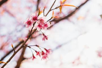 Selective soft focus Wild Himalayan Cherry or Sakura flower