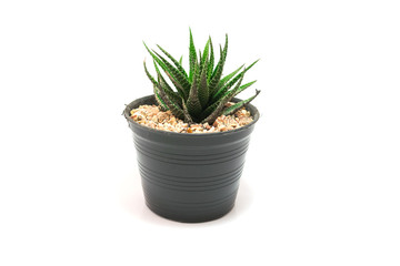 Cactus Potted plants on a white background
