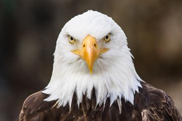 Poster Eagle Amercain eagle head