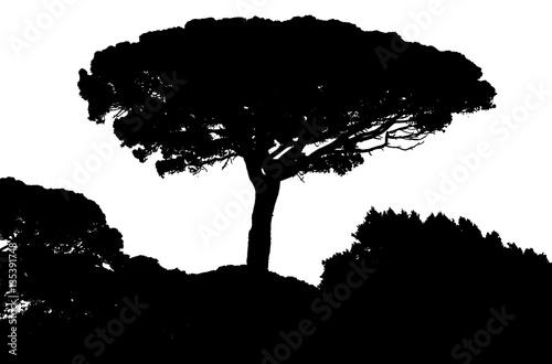 silhouette de pin parasol de provence fond blanc photo libre de droits sur la banque d 39 images. Black Bedroom Furniture Sets. Home Design Ideas