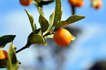Bear a Kumquat fruit-Fortunella- in Minamishimabara city Nagasaki prefecture, JAPAN. It is in December. The Japanese name of this Citrus is Kinkan.