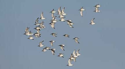 Bird, Bird of Thailand, Migration birds on blue sky in Flight