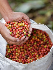 Close up red berries coffee beans on agriculturist hand.