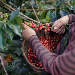 Close Up hand of farmers picking branch of arabica coffee berries