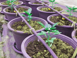 Cultivation plants by drip irrigation method