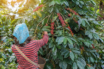 Wall Murals Roe farmers hill picking arabica coffee berries in red and green