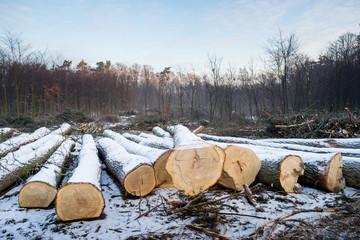 Kłody drzewa dębowego