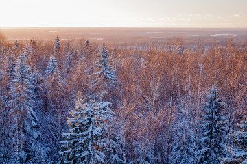 Snowy Evergreen forest at golden hour