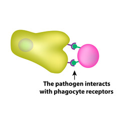Innate immunity. Adaptive specific . Phagocytosis. Infographics. vector illustration