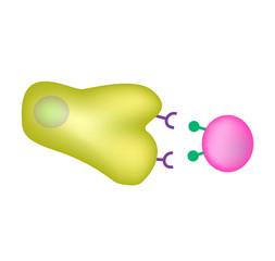Innate immunity. Adaptive specific . Phagocytosis. Infographics. vector illustration
