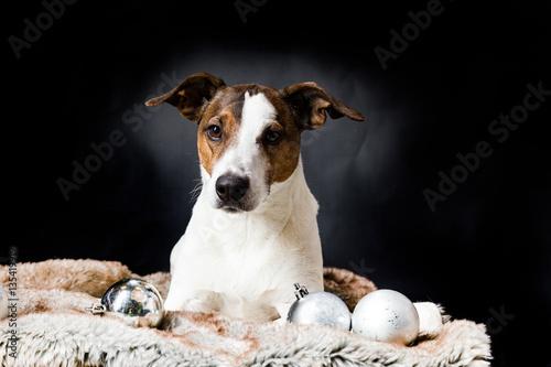 Weihnachtsdeko Hund.Liegender Hund Mit Weihnachtsdeko Stock Photo And Royalty Free