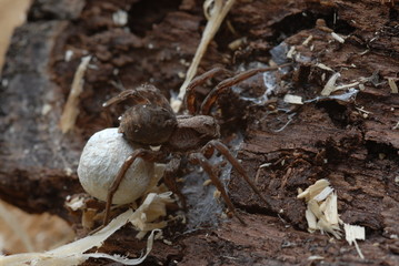 Spinne mit Eiballen