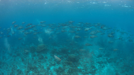 School of Humphead Parrotfishes on a colorful coral reef.