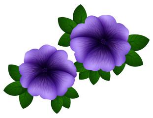 Petunia in purple color