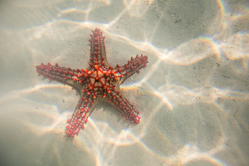 Red starfish resting on the bottom of Indian Ocean