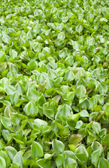 Many water hyacinth in canal