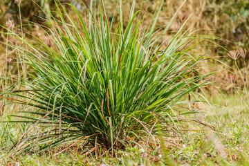 Lemongrass lemongrass, citronella in natural back ground