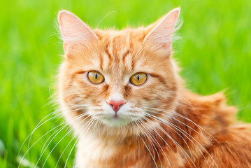 Cat in the Green Grass in Summer - Beautiful Red Cat with Yellow Eyes - Playing Cat - Pets Care Concept - Sunny Photo