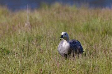 patagonian goose, birds, animals
