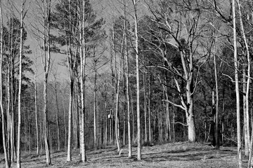 Barren trees at winter season in the forest