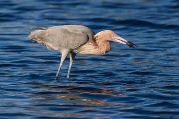 Reddish Egret Behavior at Merritt Island National Wildlife Refuge