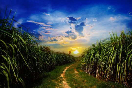 Sunset Sugarcane field and road with white cloud in Thailand