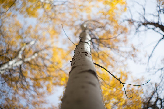 aspen trees and leaves