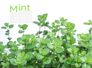 Mint plant grow at vegetable garden isolated on the white backgr