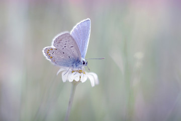 butterfly relaxing on a white daisy
