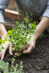 Woman planting parsley in garden