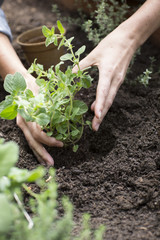 Hands placing oregano plant into garden