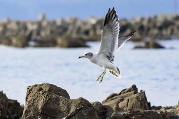 岩場に降り立つカモメ 海鳥 1羽