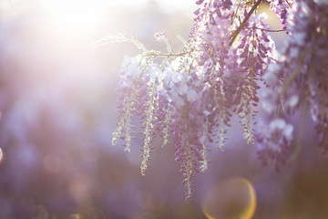 Beautiful wisteria flowers are blooming in spring on the sunset