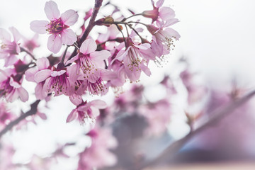 background nature Flower Valentine Prunus cerasoides