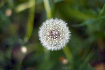 White dandelion in a field among green grass. View from above.